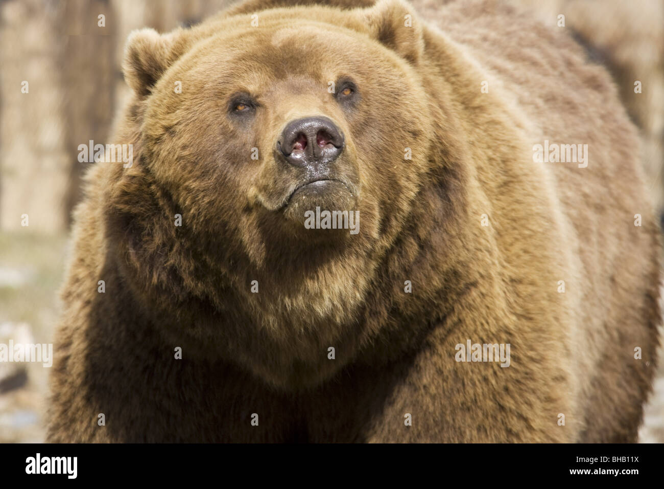 CAPTIVE Grizzly at the Alaska Zoo, Southcentral Alaska - Stock Image