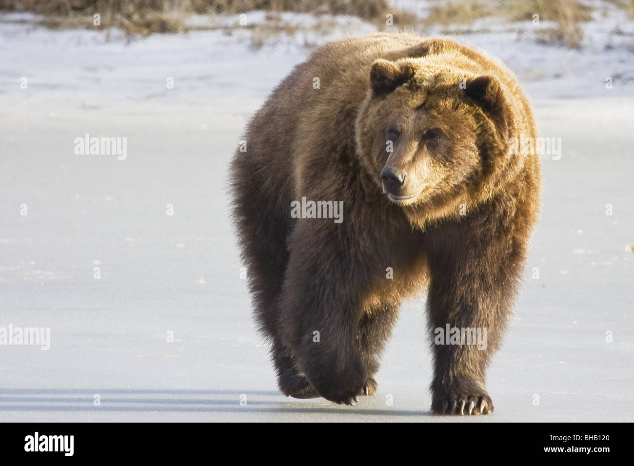 CAPTIVE Grizzly walking in snow At the Alaska Wildlife Conservation Centerm Southcentral Alaska Stock Photo