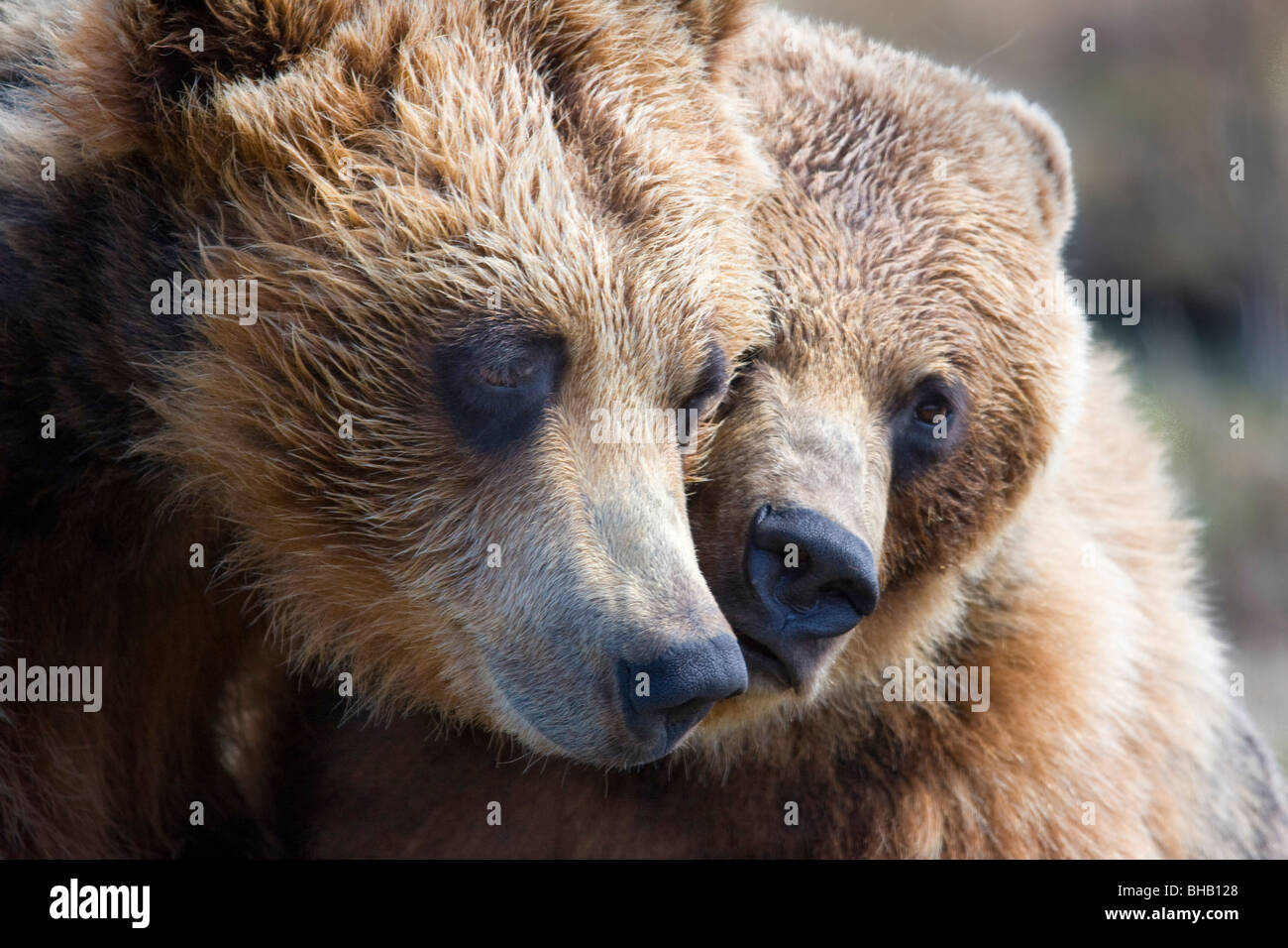 CAPTIVE Grizzly bears playing at the Alaska Wildlife Conservation Center, Southcentral Alaska - Stock Image