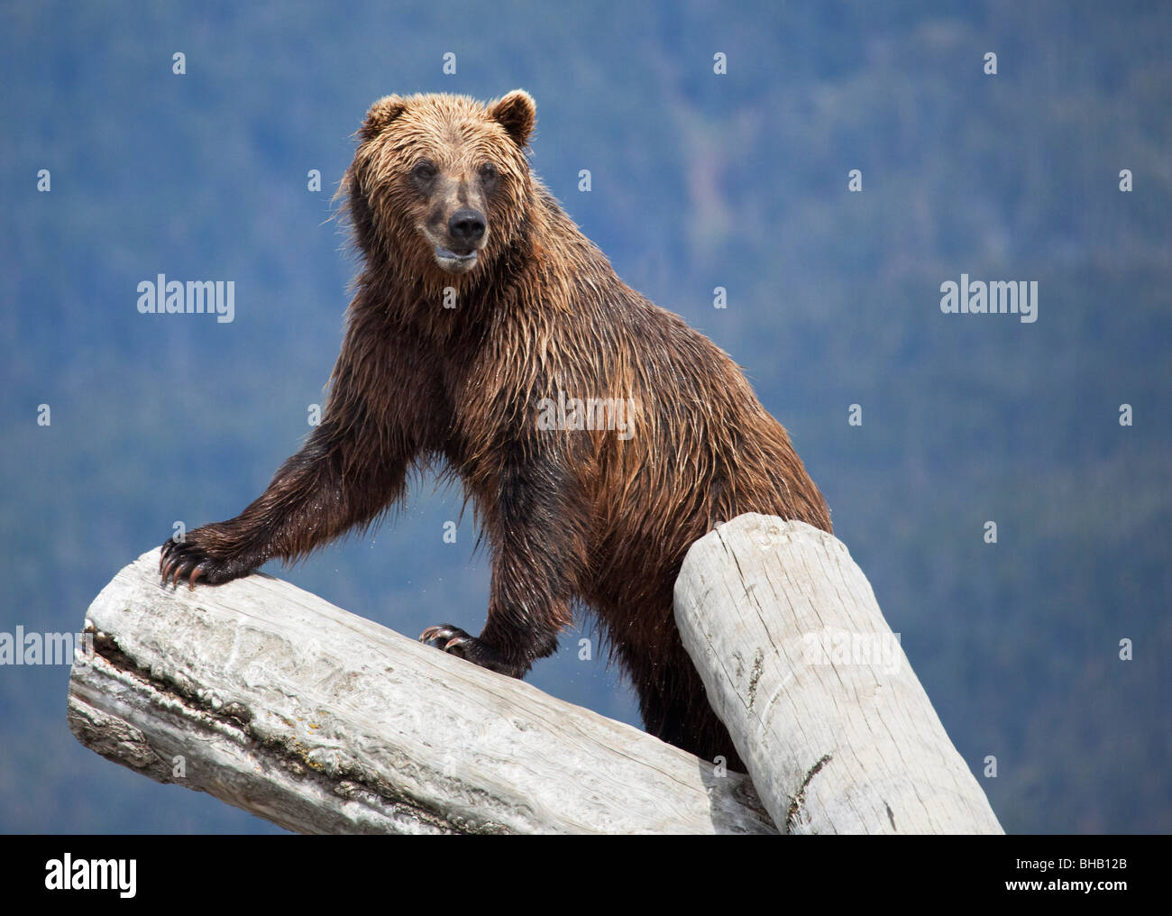 CAPTIVE Grizzly stands on a log at the Alaska Wildlife Conservation Center, Alaska CAPTIVE - Stock Image