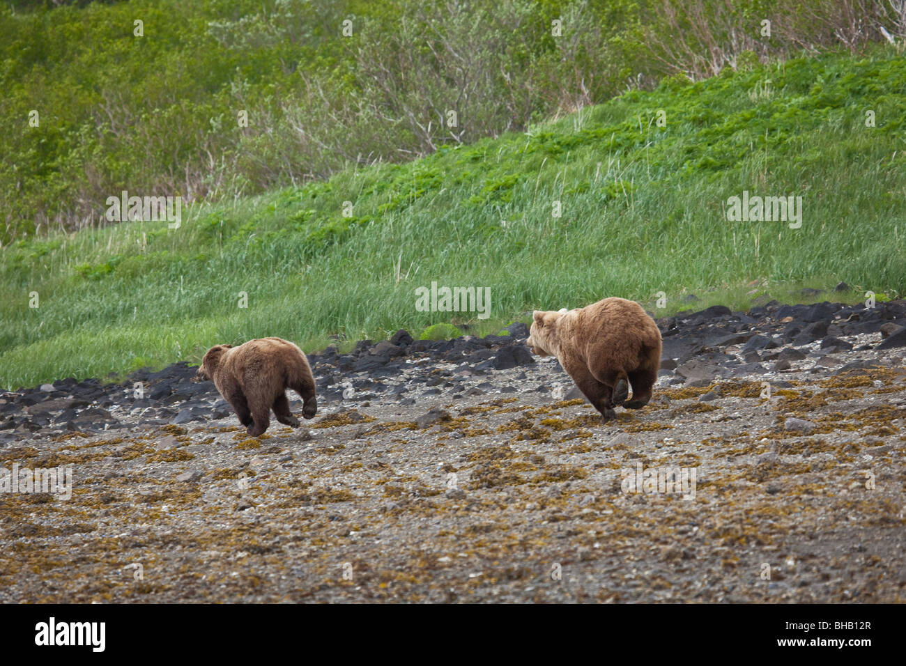 Brown bear runs off another bear on the beach while digging for clams at Geographic Harbor in Katmai National Park, - Stock Image