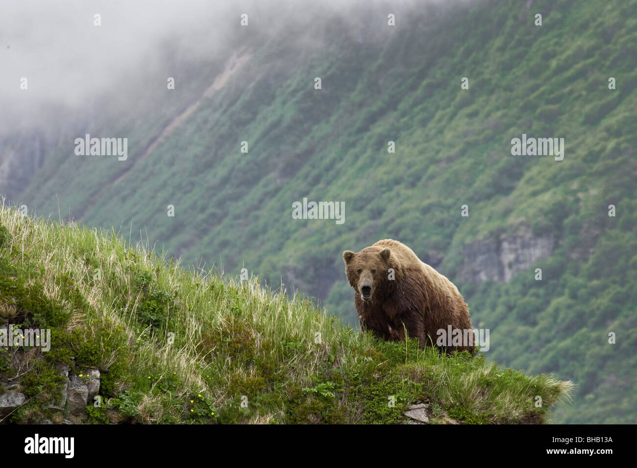 A male brown bear stands on a grassy ridge on an island in Amalik Bay near Geographic Harbor on the Katmai coast - Stock Image