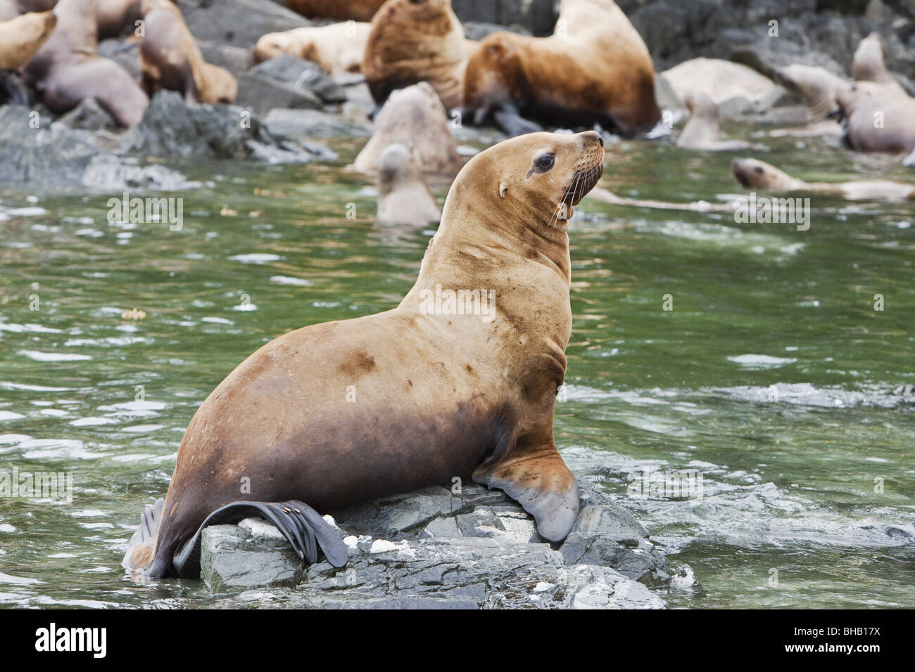 Steller Sea Lions resting in a rookery on Sail Island in Frederick Sound in the Inside Passage of Southeast Alaska, - Stock Image