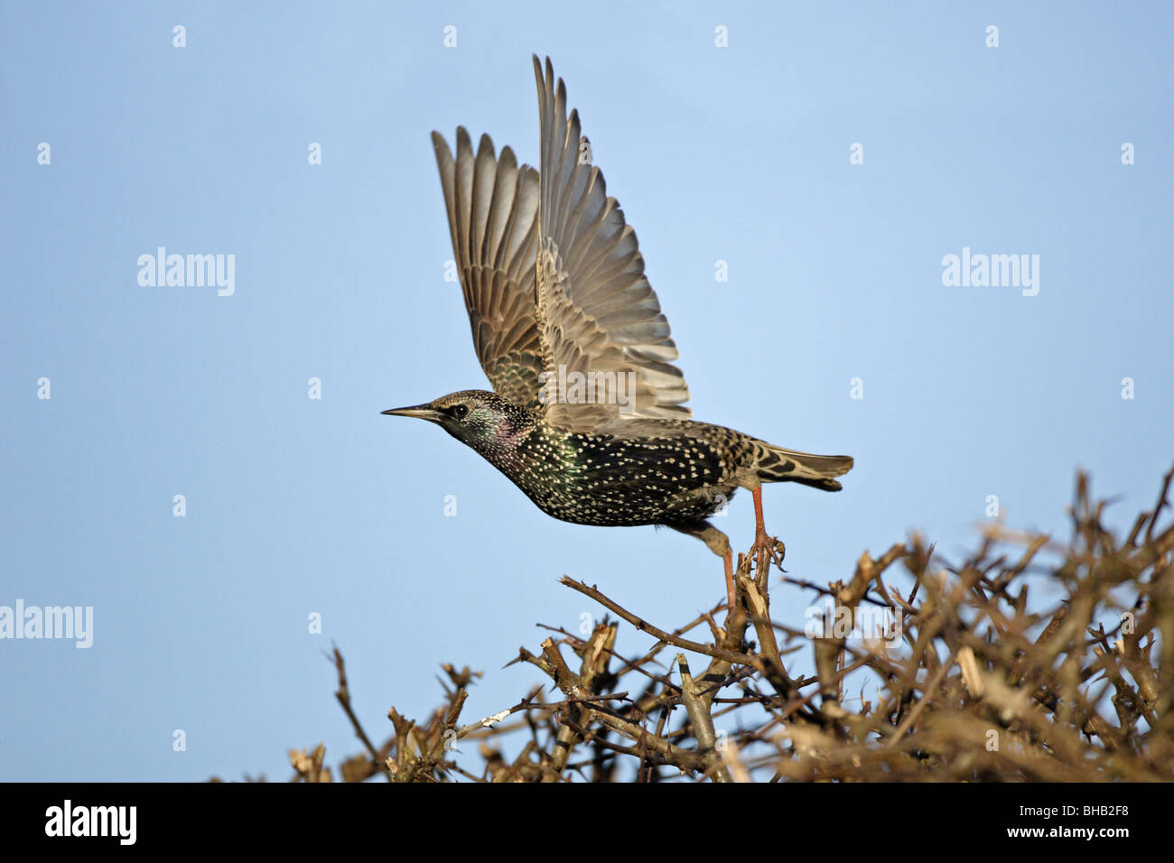Common Starling taking off - Stock Image