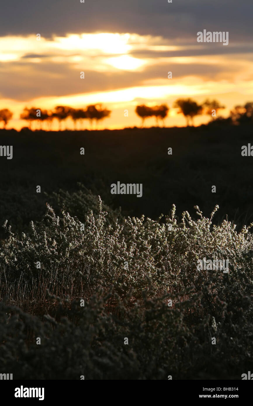 Sun set over Australian outback with copperburr bush in foreground - Stock Image