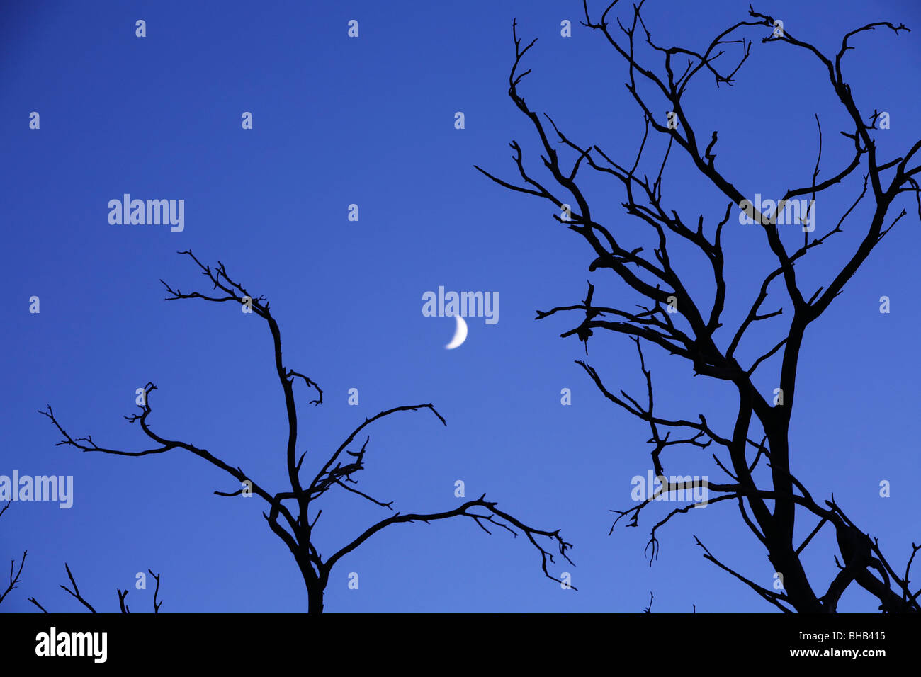 Silhouetted bare trees with new moon in dusk sky - Stock Image