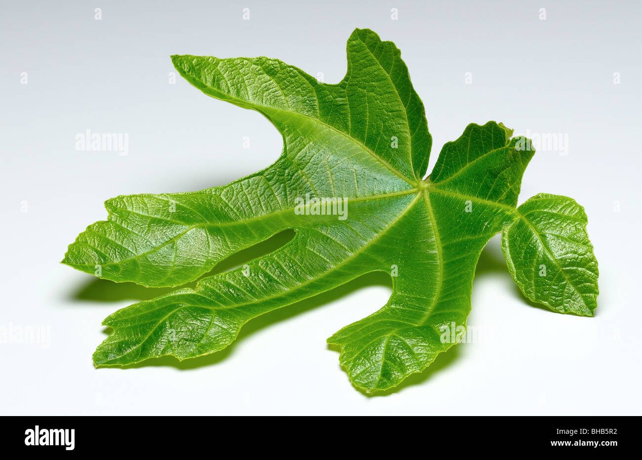 fig leaf - Stock Image