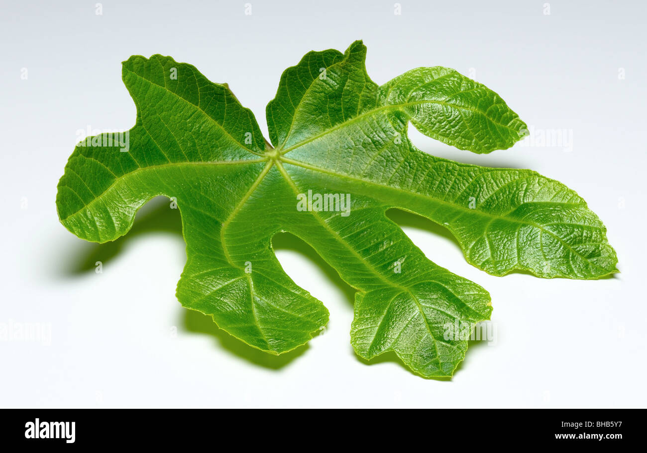 fig leaf cut out - Stock Image