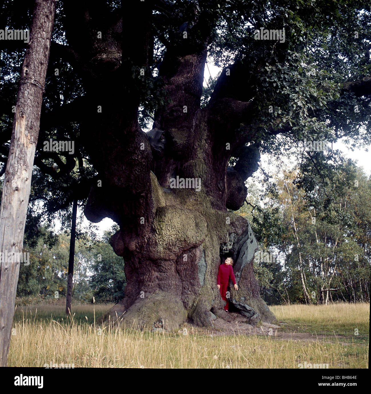 The Old Oak Tree of Sherwood Forest of Robin Hood fame, - Stock Image