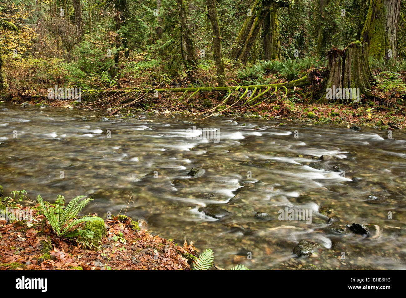 Salmon run at Goldstream Park. Vancouver Island, BC