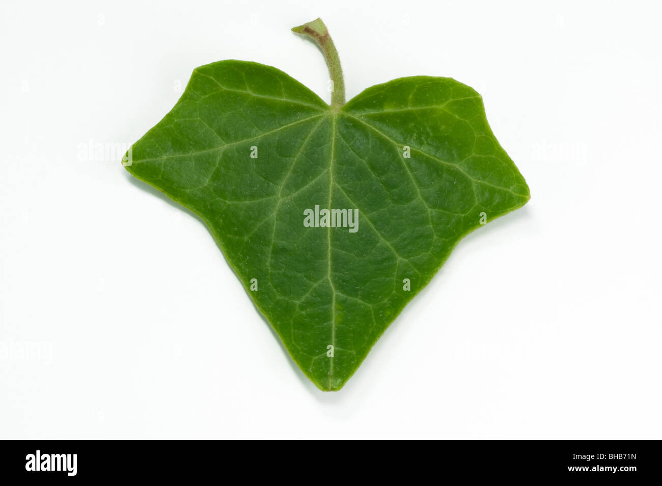 Common Ivy, English Ivy (Hedera helix), leaf, studio picture. - Stock Image