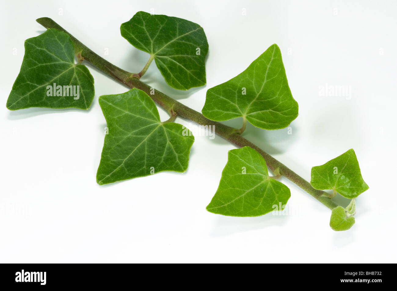 Common Ivy, English Ivy (Hedera helix), tendril, studio picture. - Stock Image