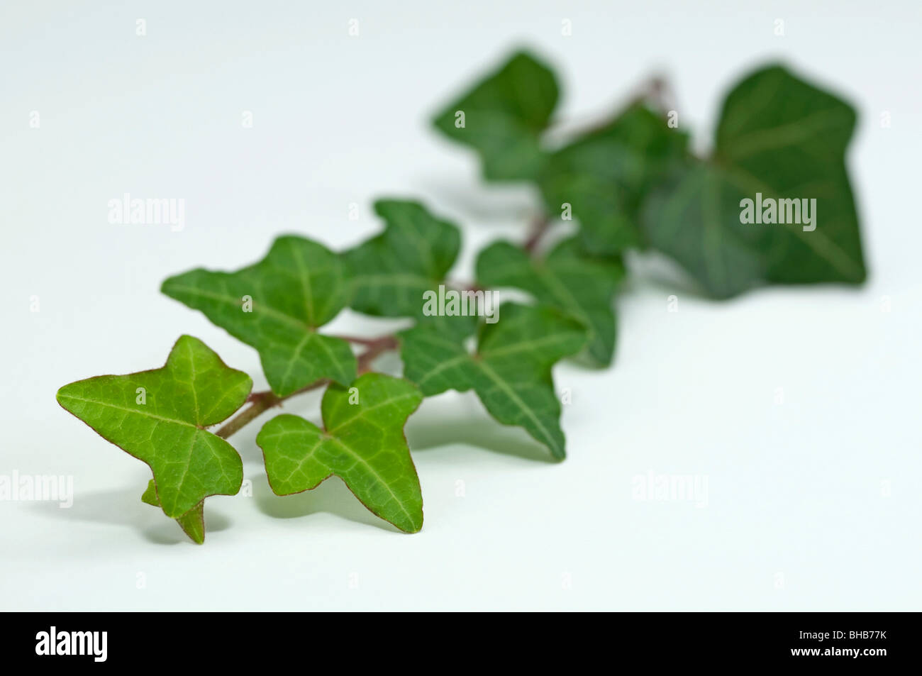 Common Ivy, English Ivy (Hedera helix), twig, studio picture. - Stock Image
