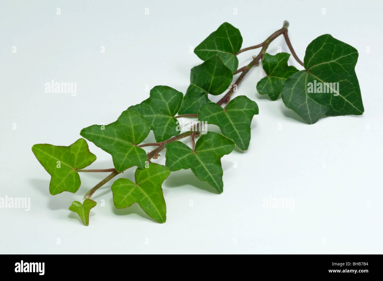 English Ivy Stock Photos & English Ivy Stock Images - Alamy on common plants used in baskets florist, common house plant problems, common household plants, round leaves with ivy, variegated ivy, common names of indoor plants, hedera glacier ivy,