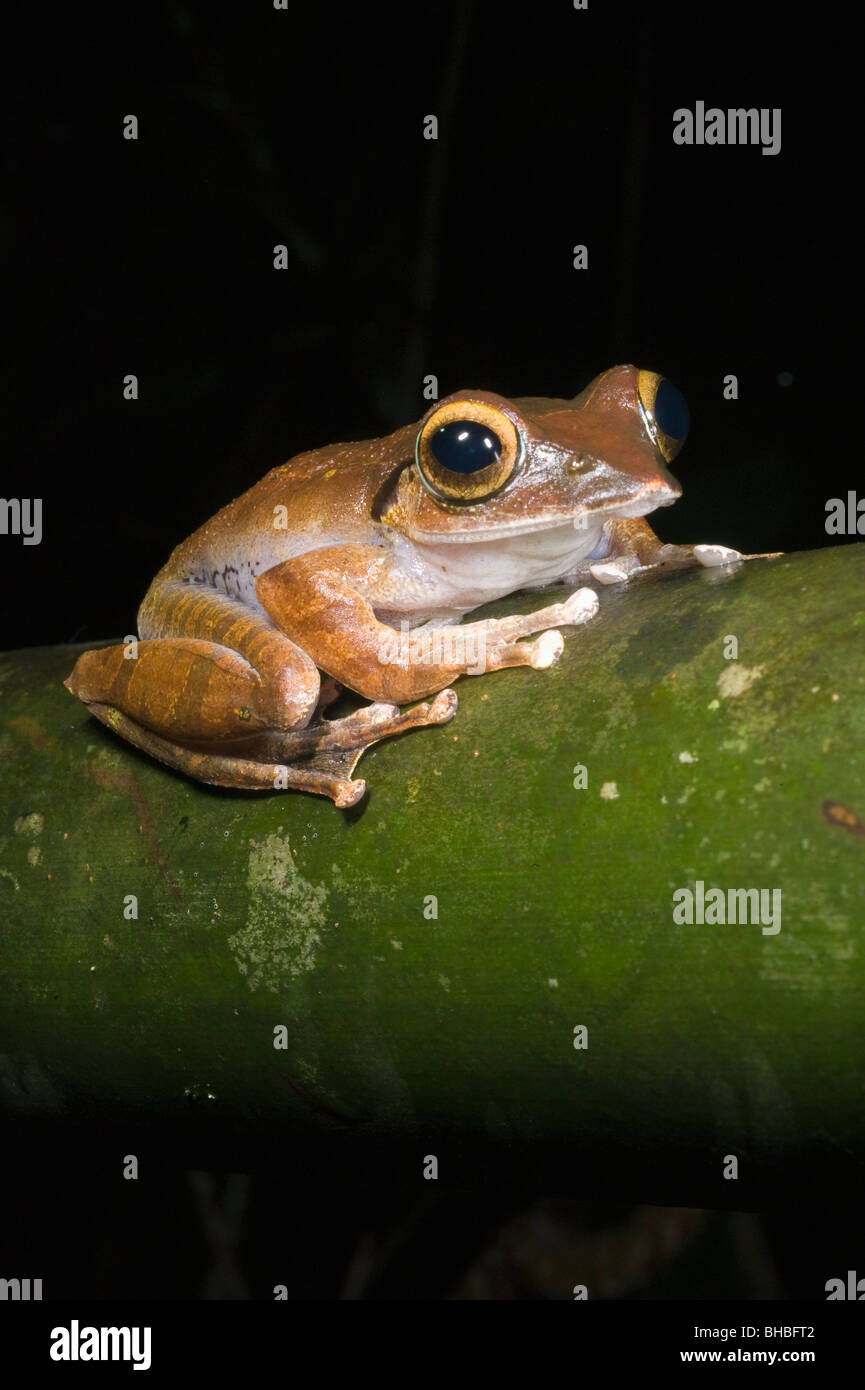 Madagascar Tree Frog (Boophis madagascariensis) Marojejy National Park, Madagascar Stock Photo