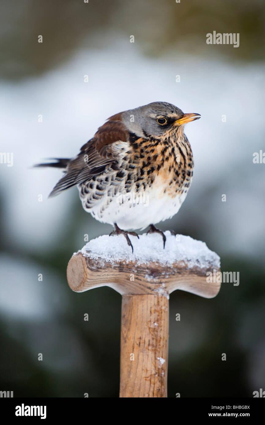 Fieldfare; Turdus pilaris; in snow on spade handle - Stock Image
