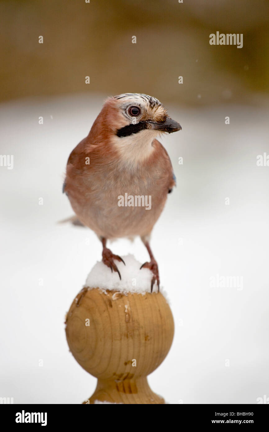 Jay; Garrulus glansarius; in snow on fence post - Stock Image