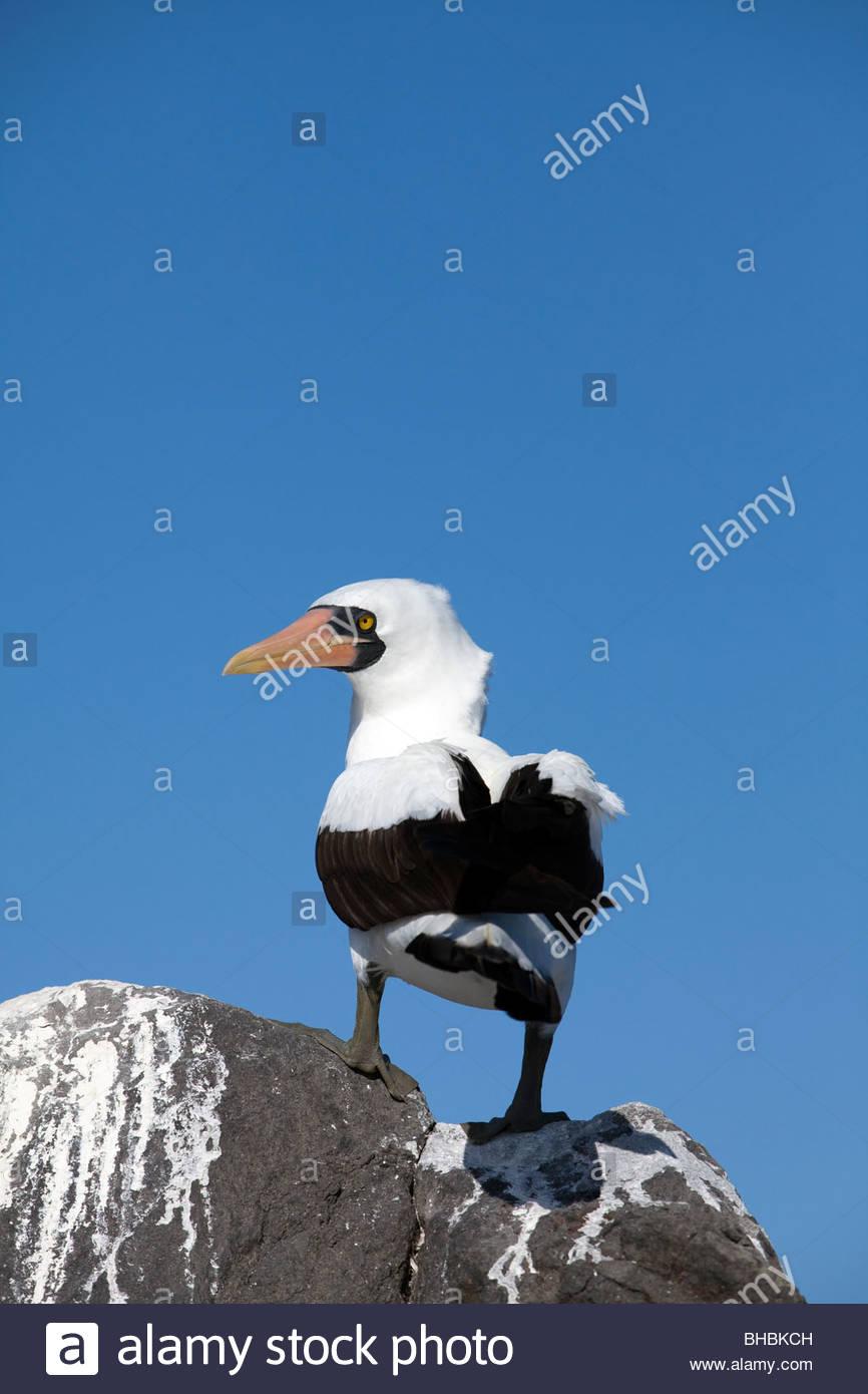 adult animal animals bird birds boobies booby Ecuador Espanola Galapagos Latin America Latin American nasca nasca - Stock Image