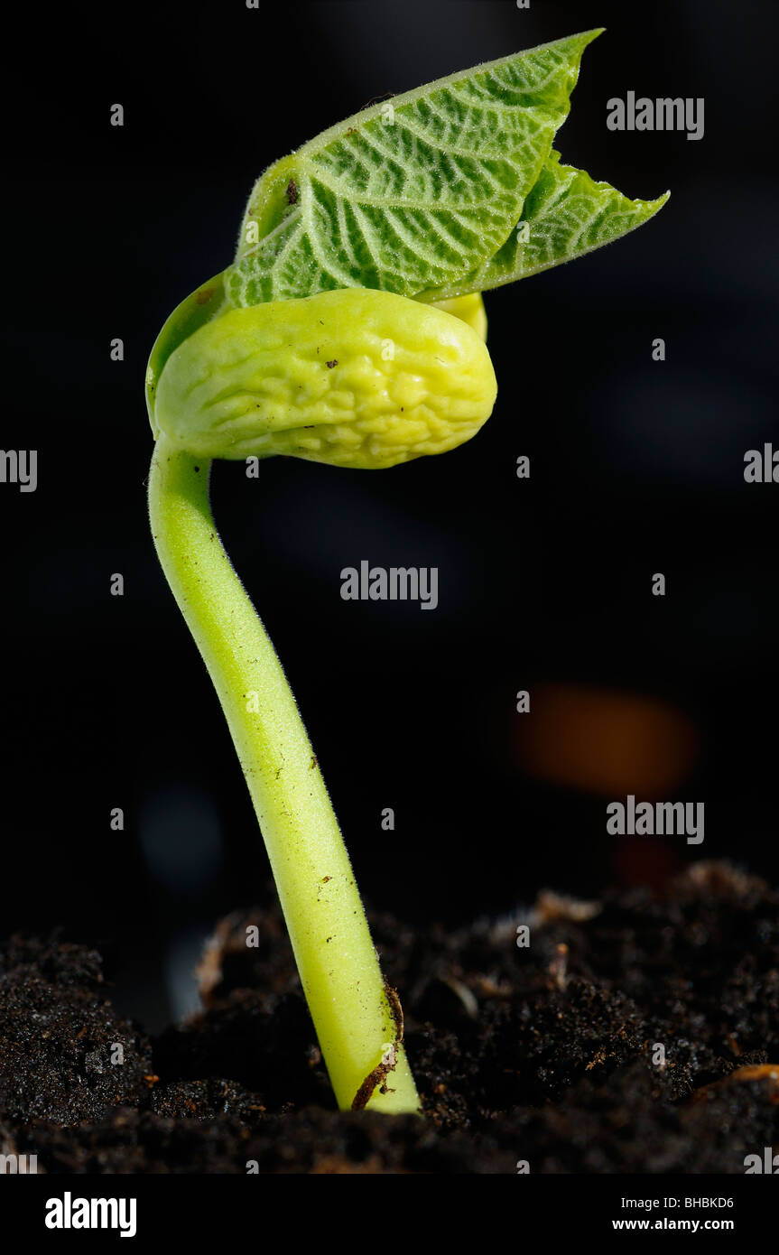Bush bean sprout emerging with new growth from the earth in sunshine in Spring - Stock Image