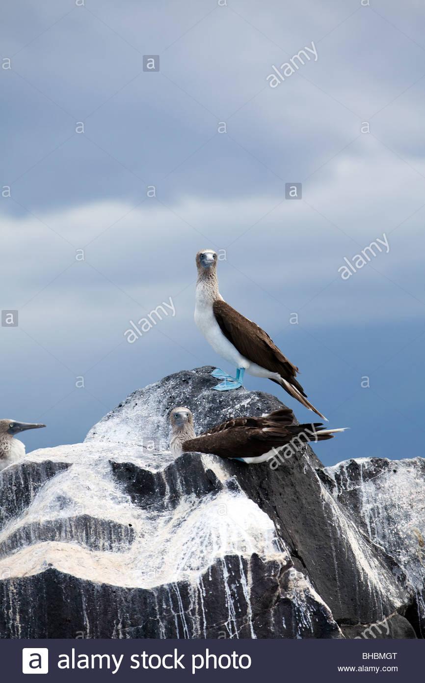 animal Archipelago archipelo bird birds blue footed booby boobies booby Ecuador Galapagos Isabela island nature - Stock Image