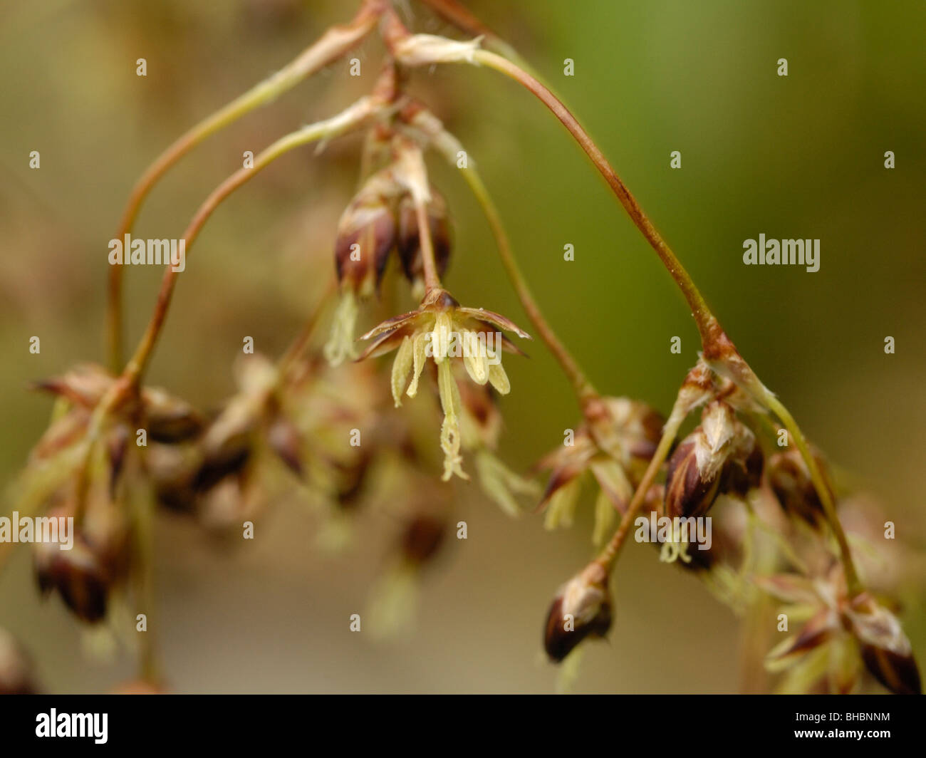 Great Wood-rush, luzula sylvatica - Stock Image