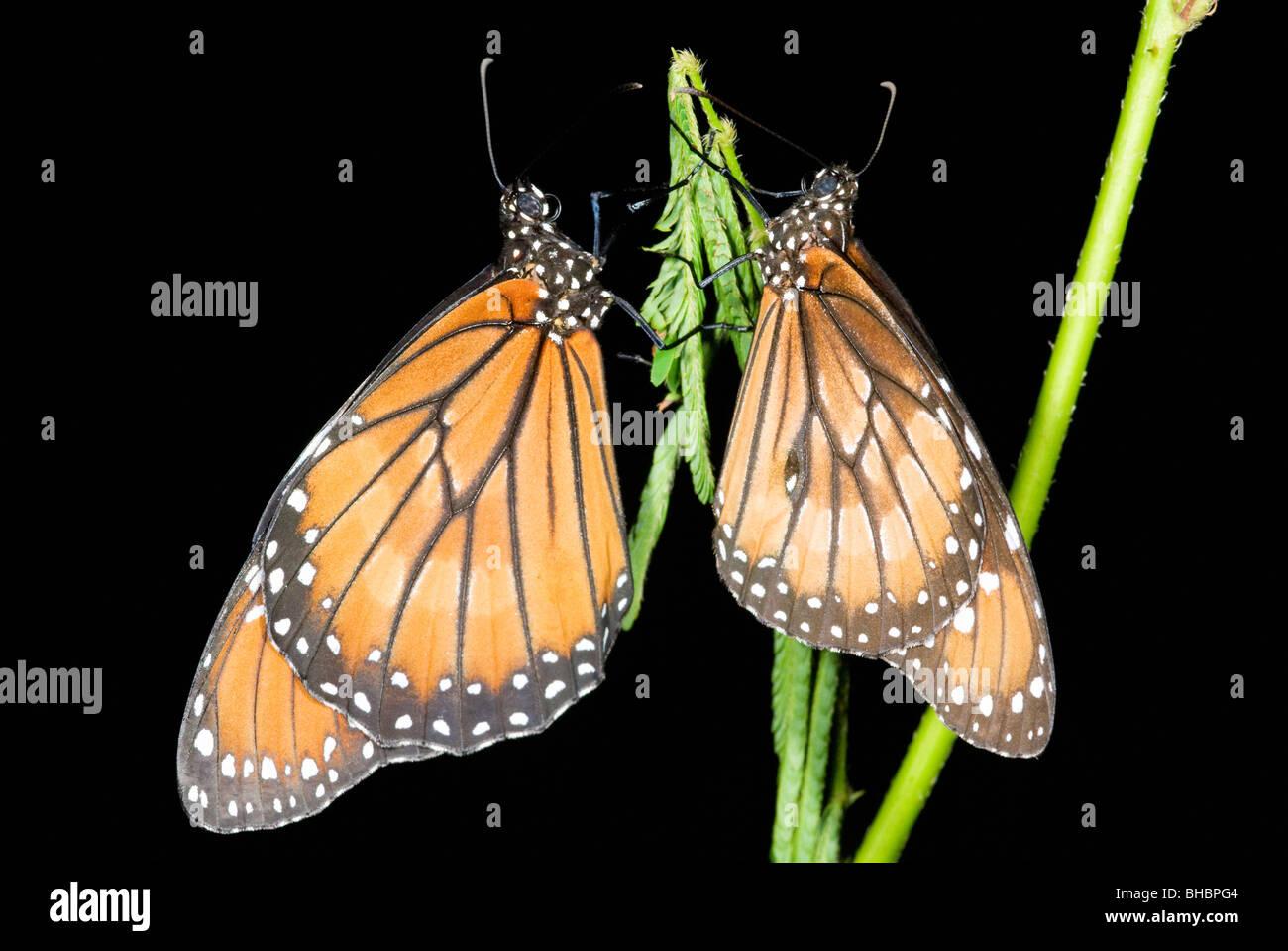 Monarch Butterflies (Danaus plexippus) Resting at night, Calakmul Biosphere Reserve, MEXICO - Stock Image