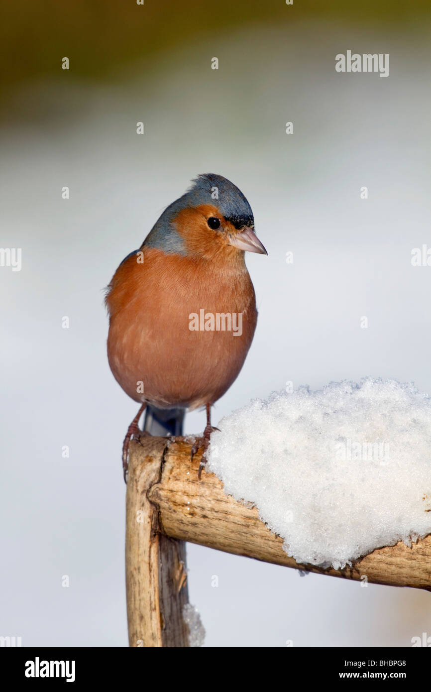 Chaffinch; Fringilla coelebs; male on fork handle in snow - Stock Image