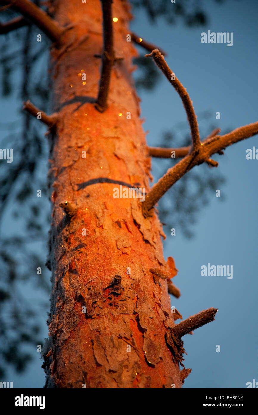 Finnish pine ( Pinus sylvestris ) tree trunk colored red by sunset - Stock Image