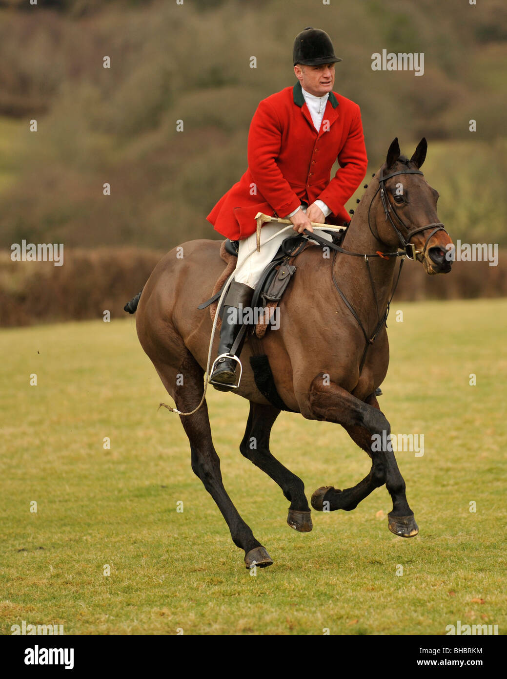 david lewis huntsman of lamerton foxhounds, galloping after hounds - Stock Image