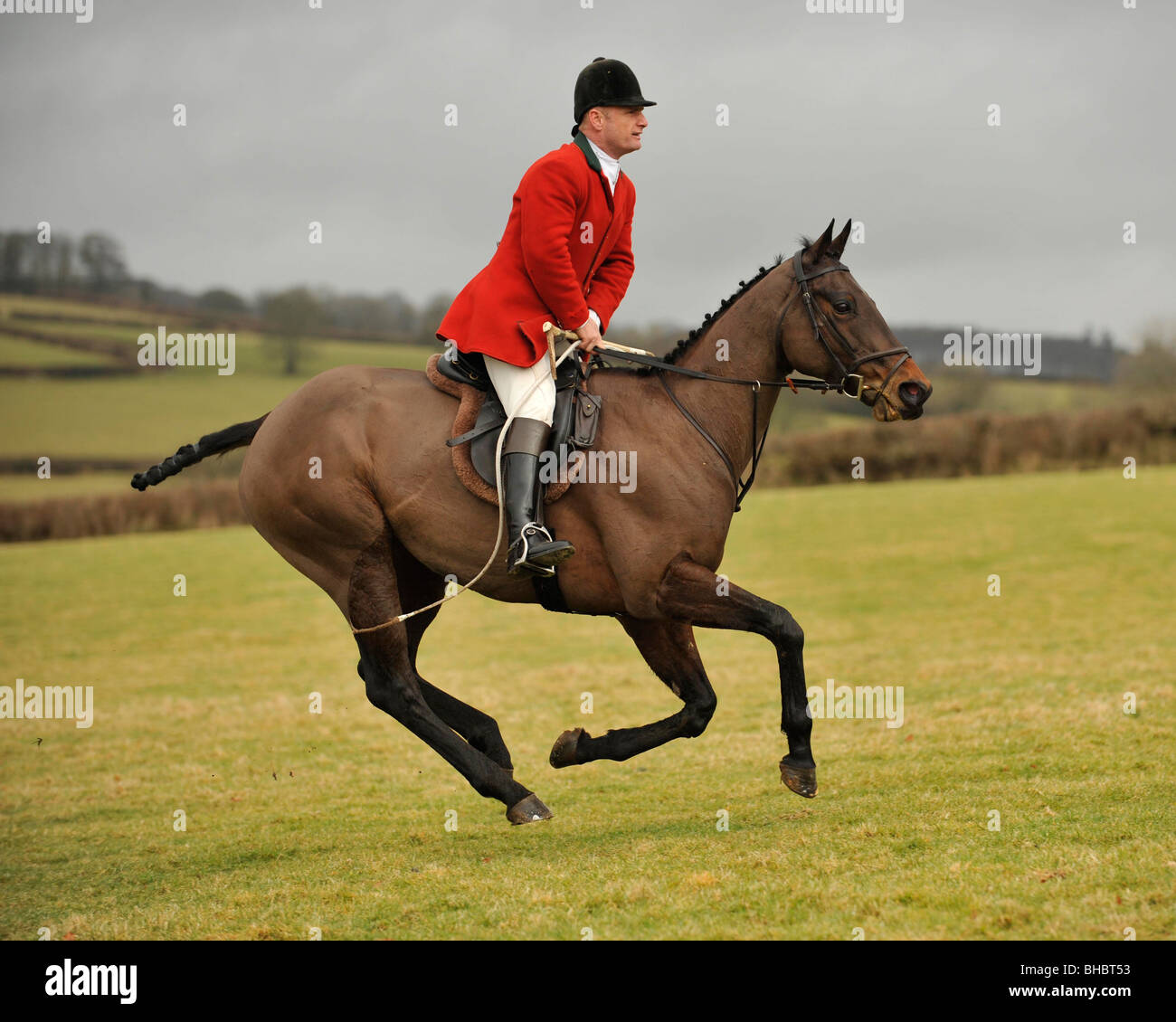 huntsman of lamerton foxhounds galloping after his hounds - Stock Image