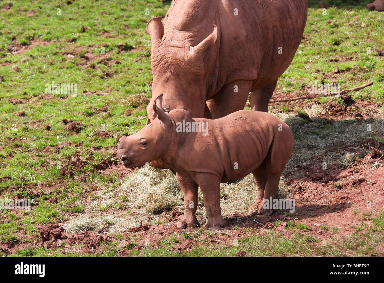 A baby white rhino with mother - Stock Image