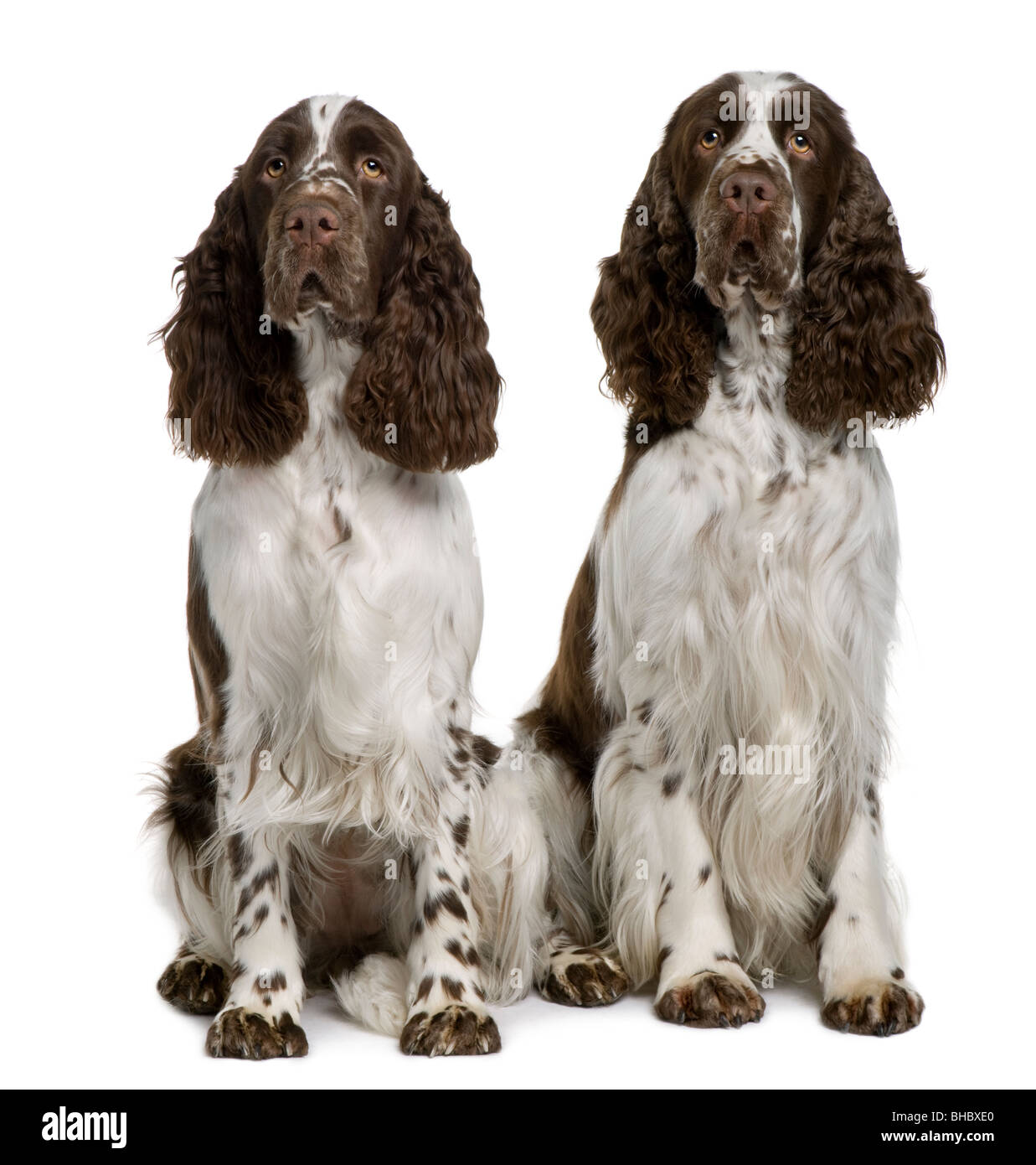 Two English Springer Spaniels, 1 and 2 years old, sitting in front of white background - Stock Image