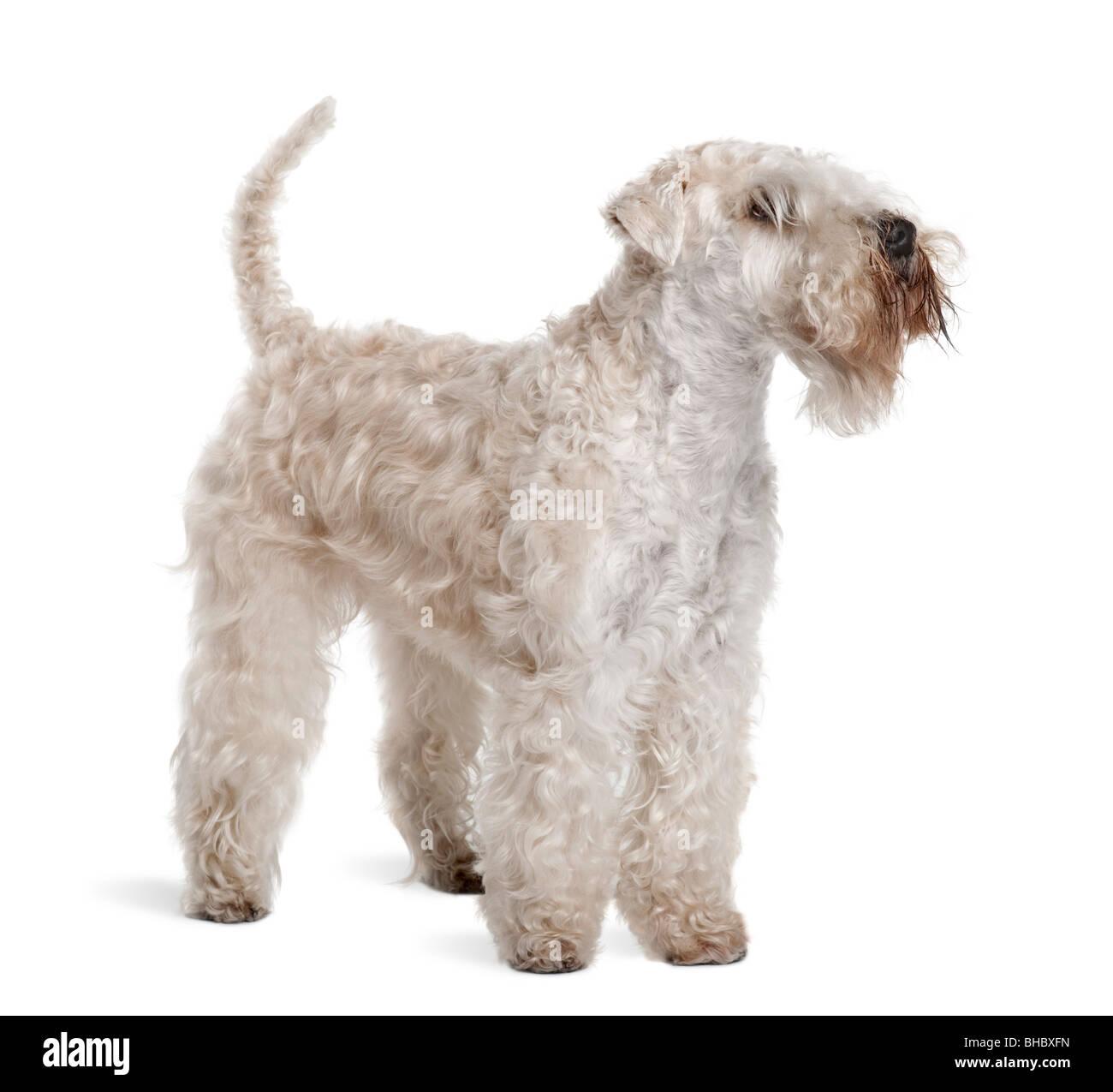 Wheaten Terrier Stock Photos & Wheaten Terrier Stock Images - Alamy