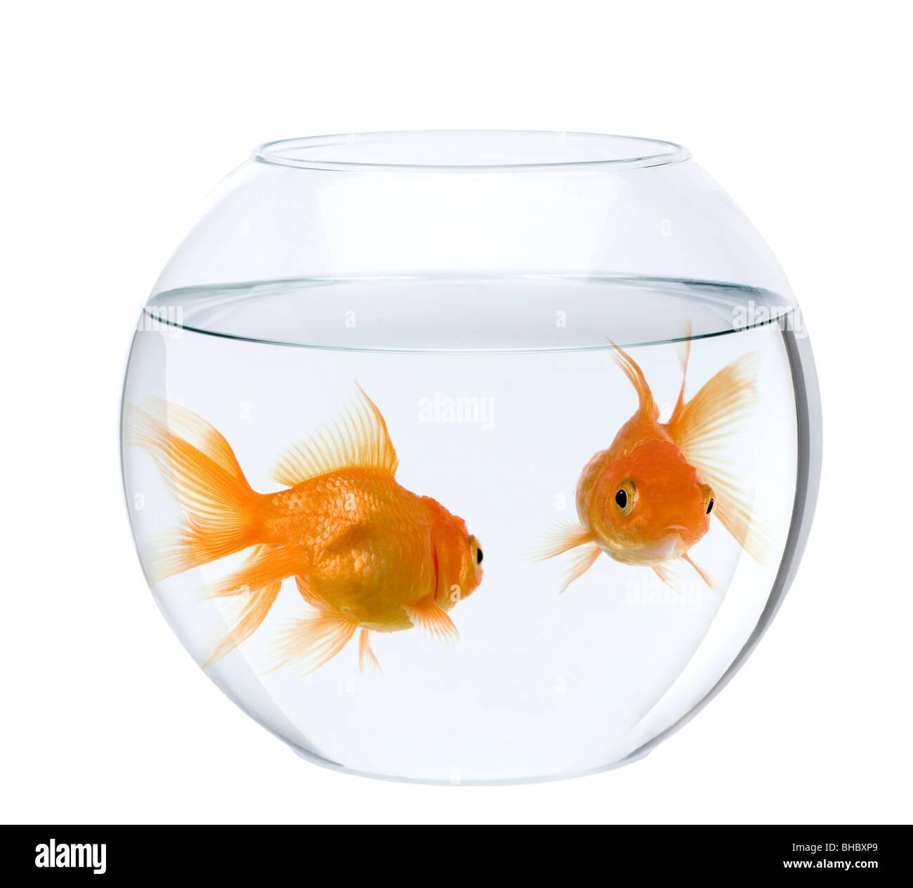 Goldfish bowl stock photos goldfish bowl stock images for Fish bowl fish