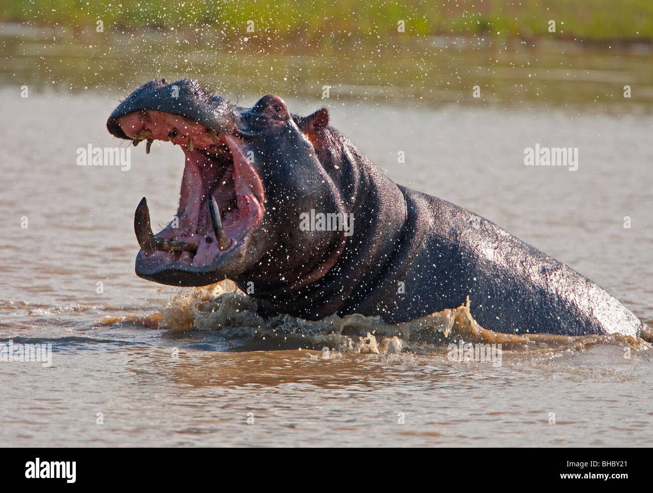 hippo attack Stock Photo: 27922217 - Alamy