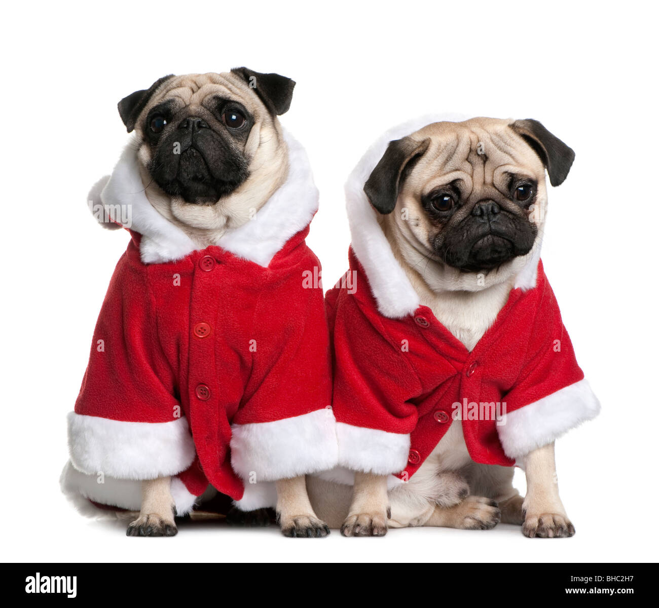 Portrait of two Pugs, 1 and 2 years old, dressed in Santa coat in front of white background - Stock Image