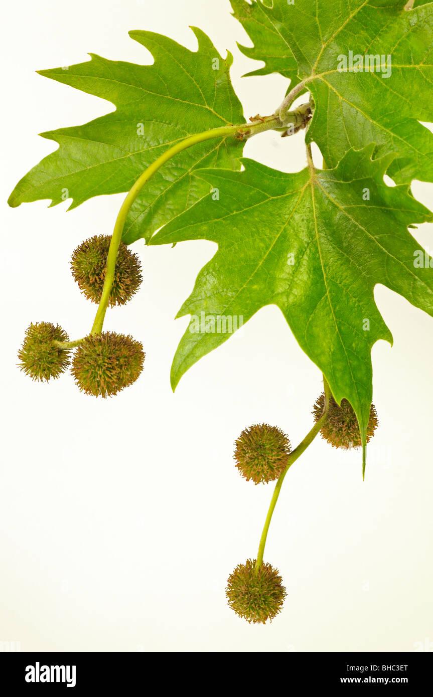 London Plane (Platanus x acerifolia, Platanus x hispanica). Twig with leaves and female flowers. - Stock Image