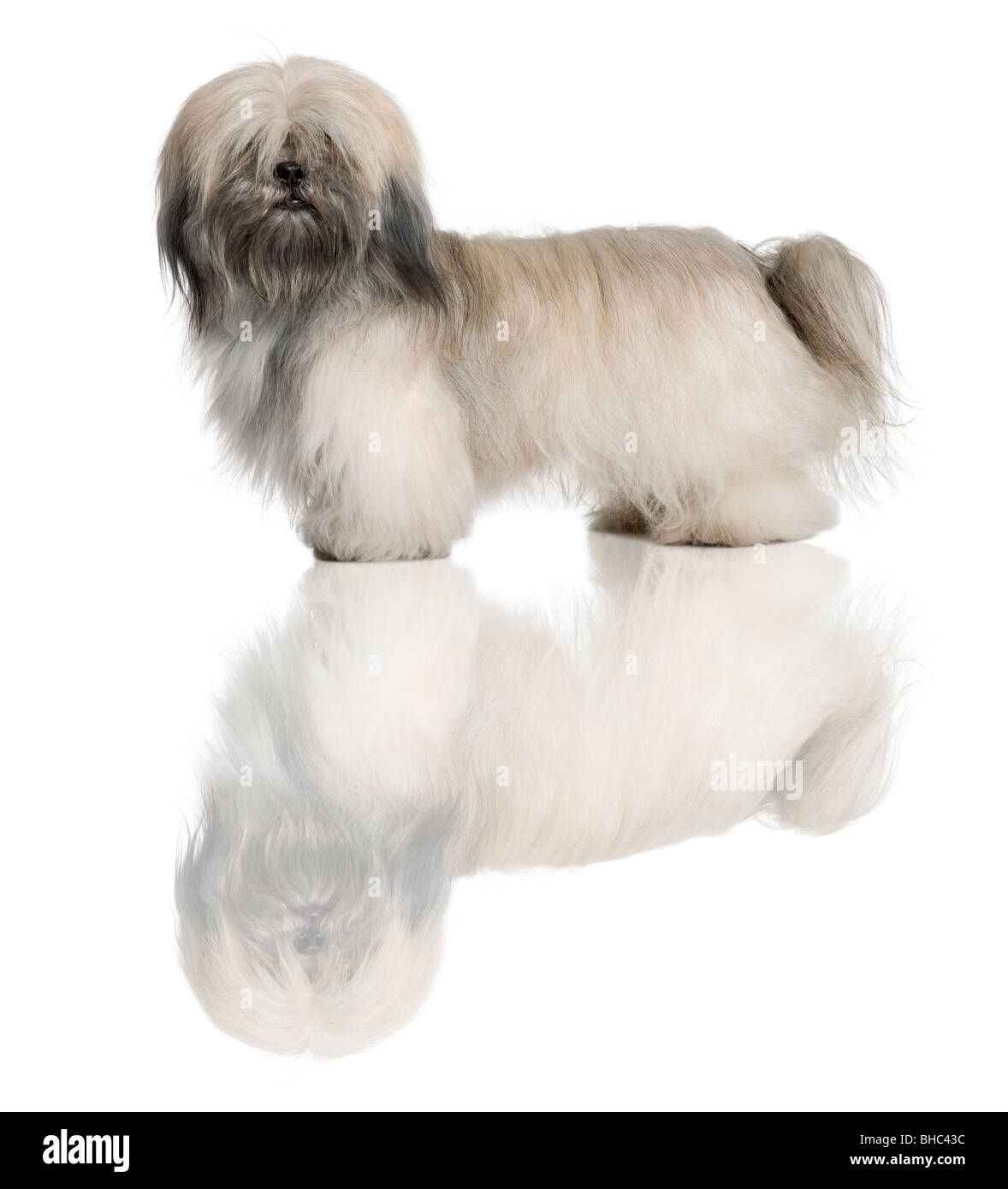 Lhasa Apso, 18 Months Old, standing in front of white background - Stock Image