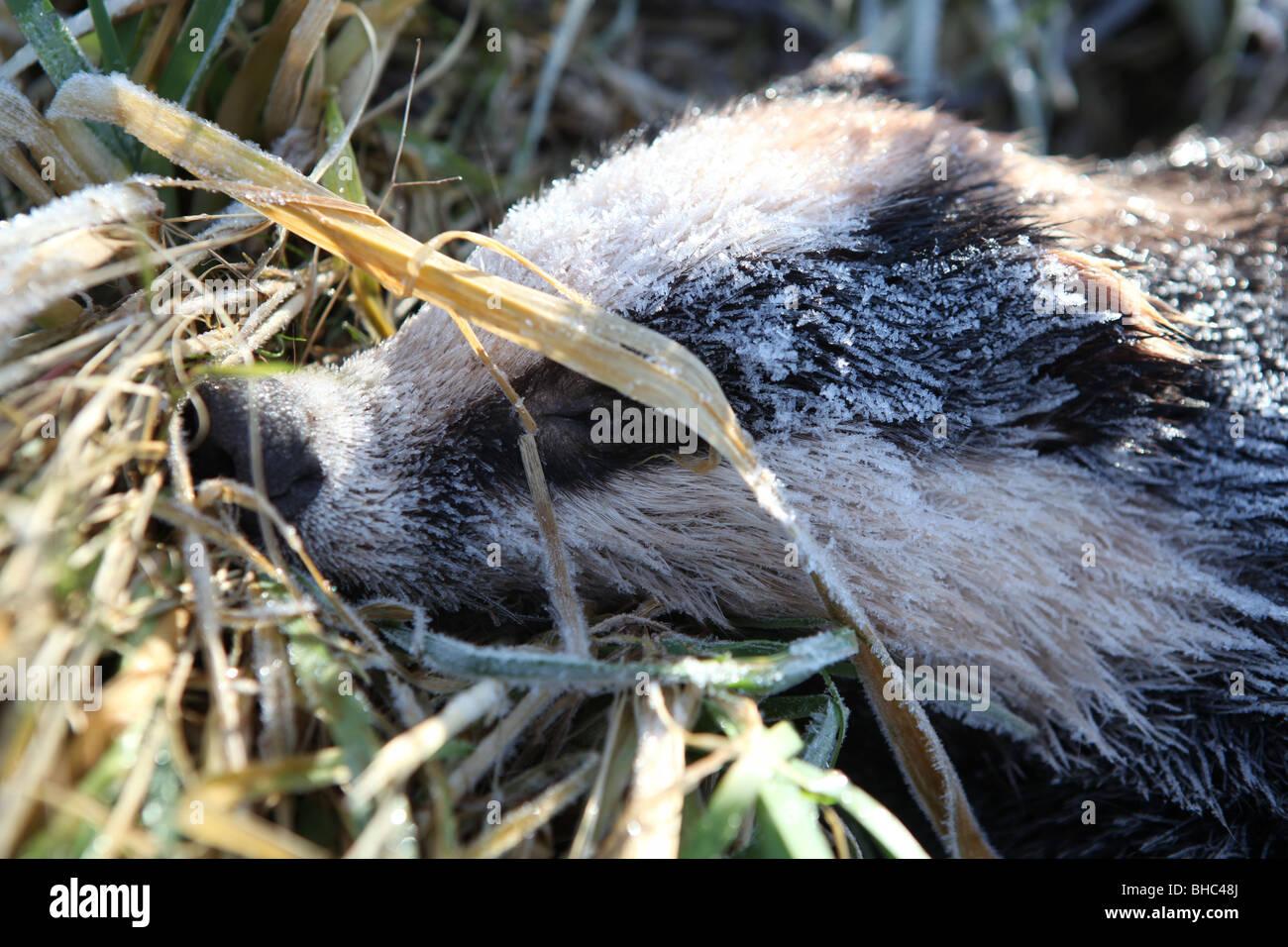 badger,cull,TB,freeze,bovine,DEFRA,tuberculosis, - Stock Image