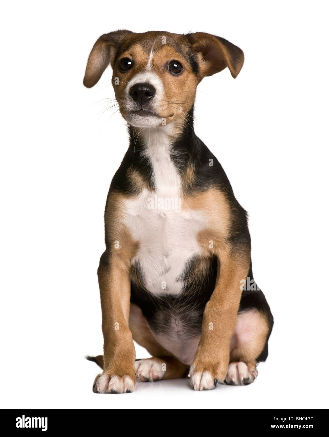 crossbreed with a jack russell and a pincher puppy 3 months old