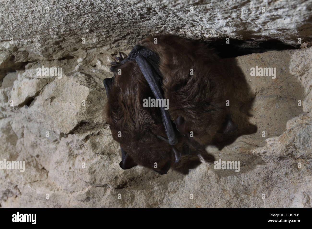 big brown bat hibernating cave kentucky Stock Photo