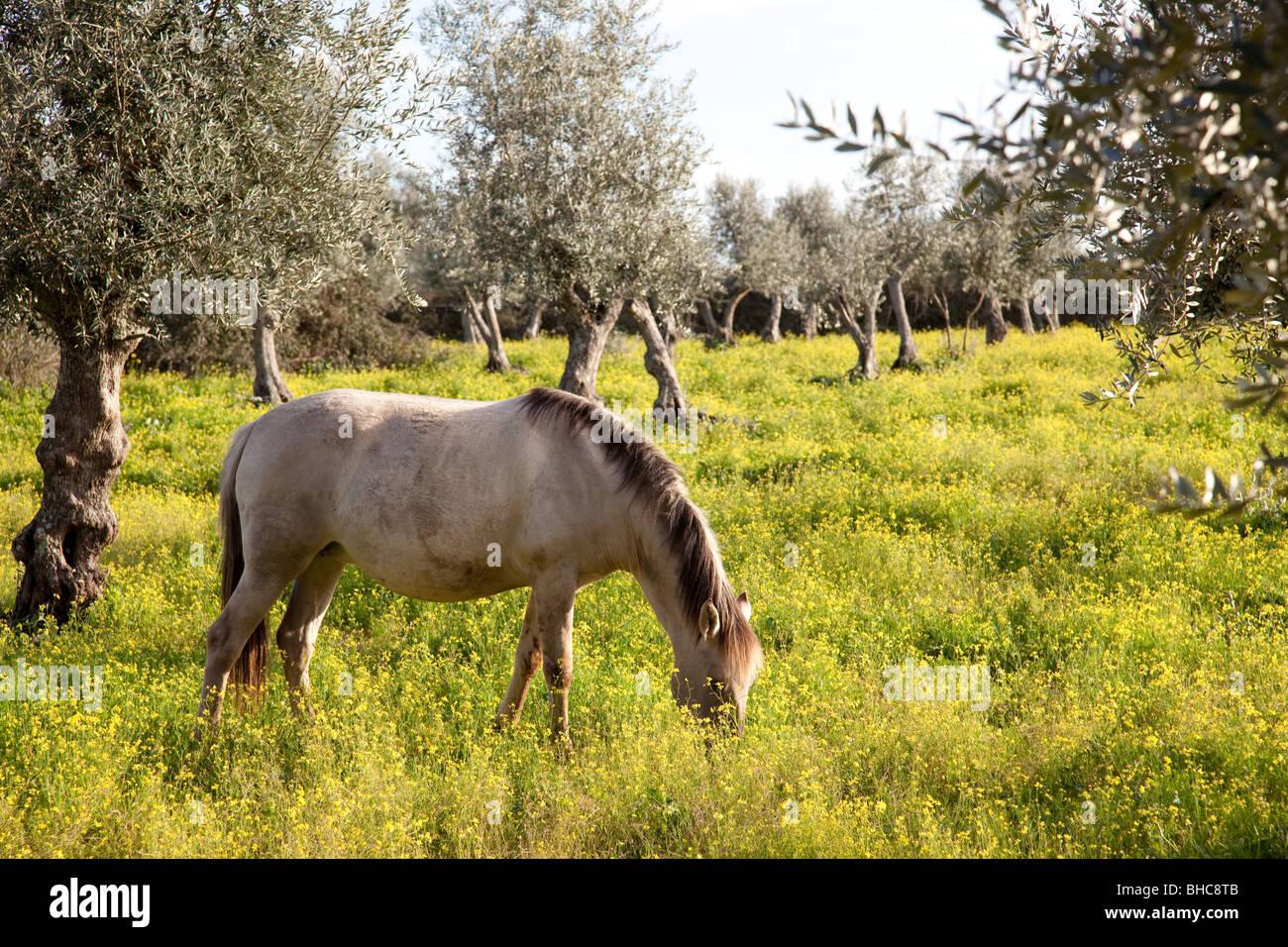 Pregnant mare from the Alter Real bred (Lusitano Horse), in Coudelaria de Alter. Alter do Chão, Portalegre, Portugal. Stock Photo