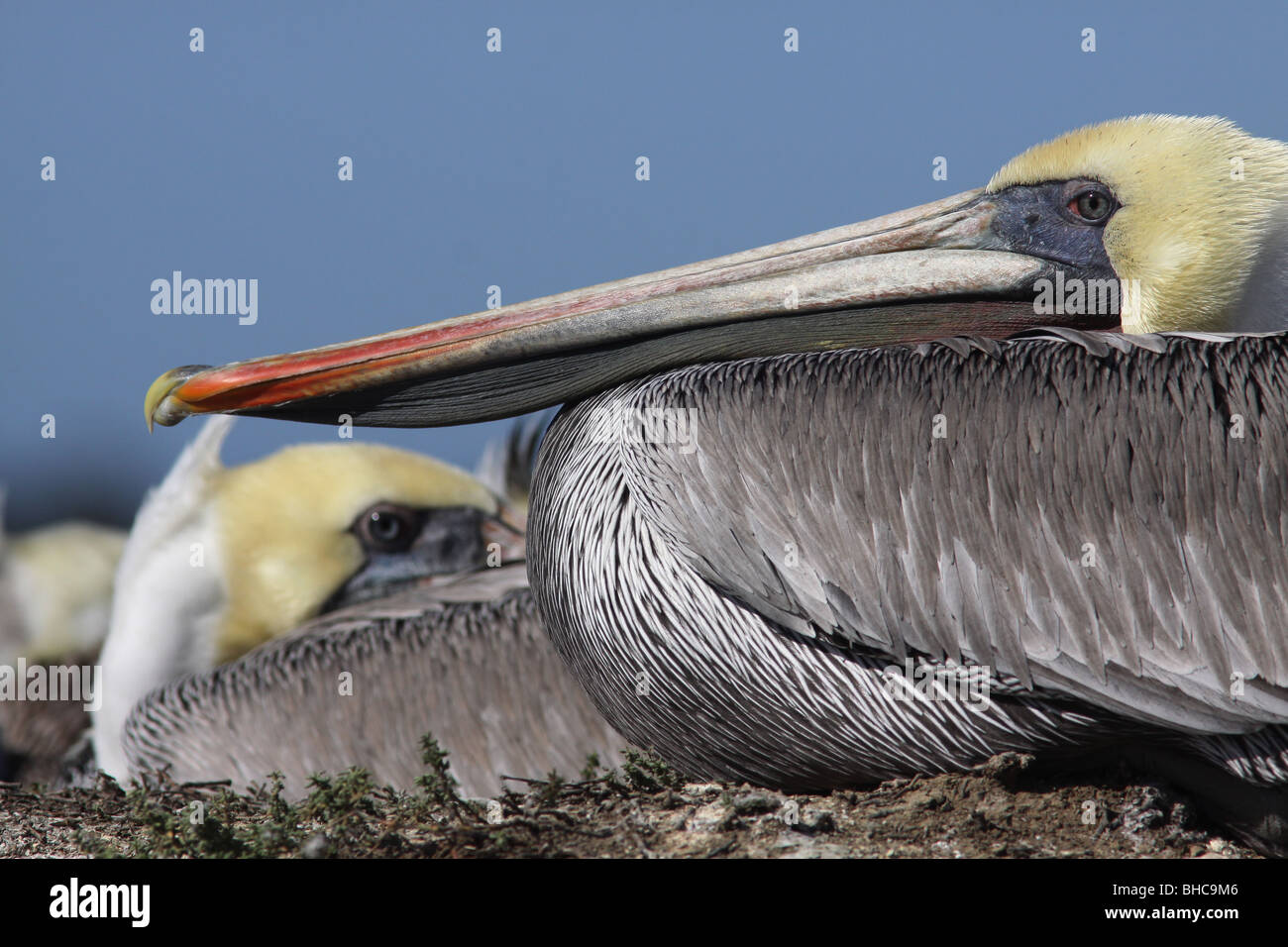 brown pelican Elkhorn Slough california Moss Landing National Estuarine Research Reserve ocean estuary bird wildlife - Stock Image