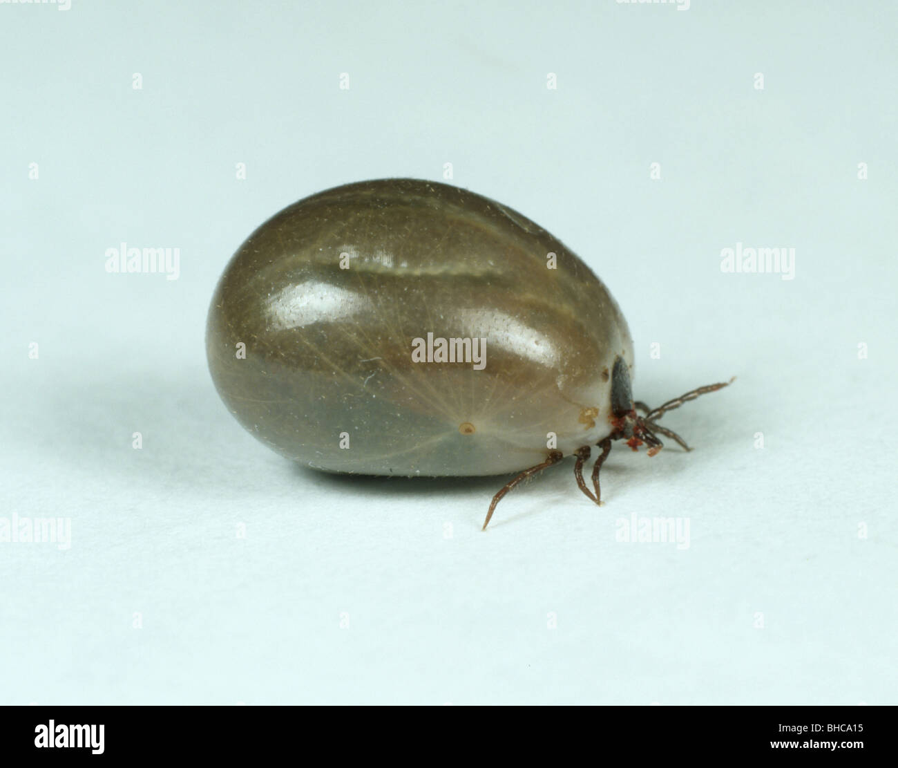 An engorged adult tick (Ixodes spp) fallen from a dog after a blood feed - Stock Image