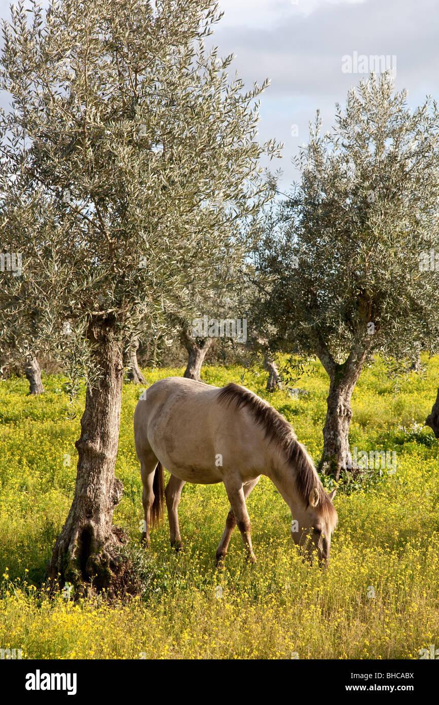 Purebred pregnant mare from the Alter Real bred - Lusitano Horse. Coudelaria de Alter. Alter do Chao, Portalegre, - Stock Image