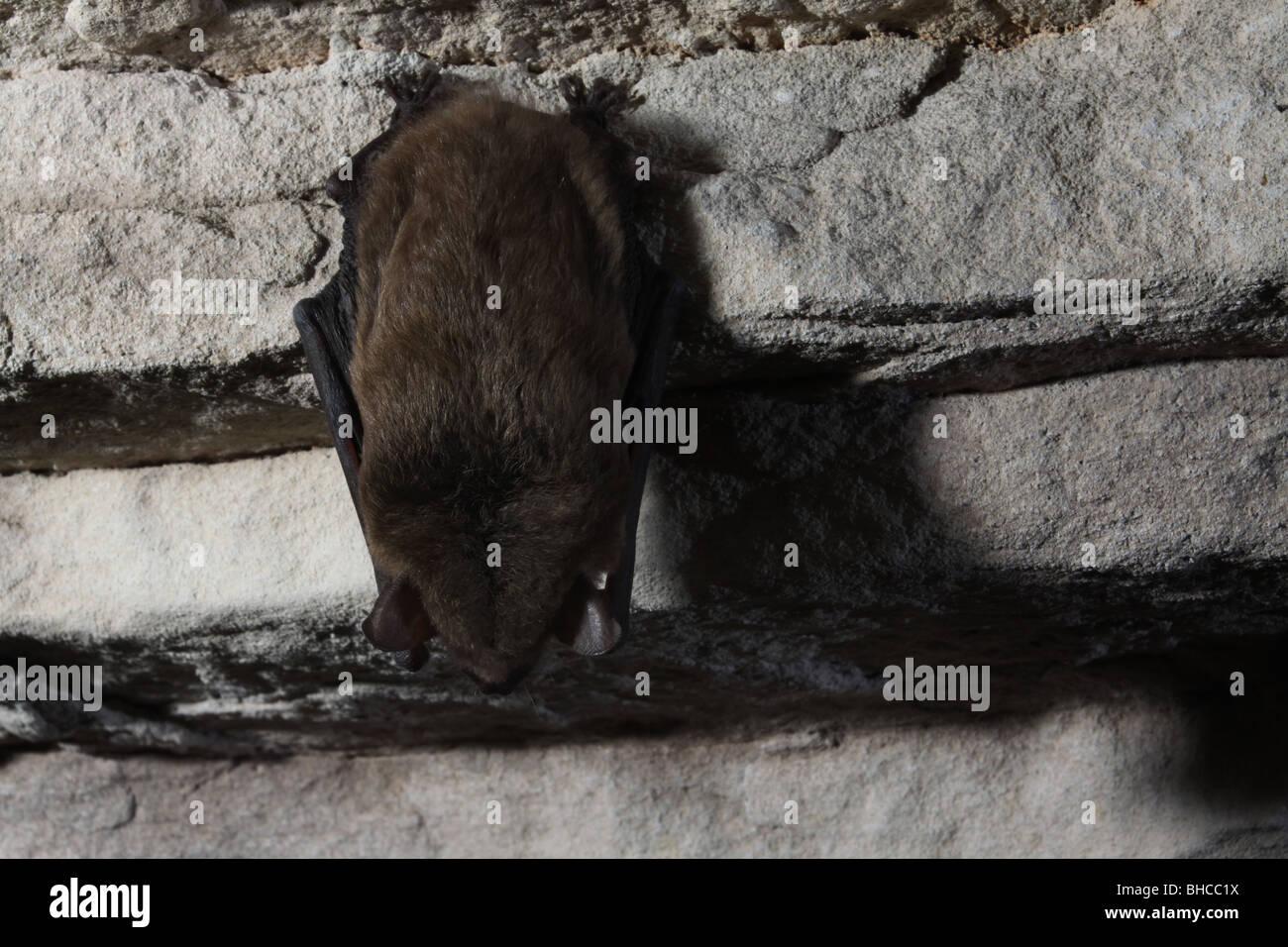 big brown bat hibernating cave kentucky - Stock Image