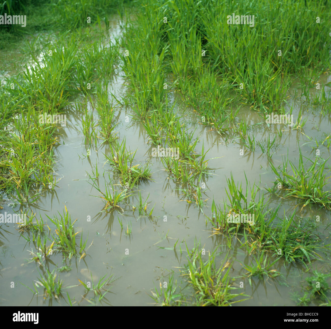 Young barley crop waterlogged after heavy rains - Stock Image