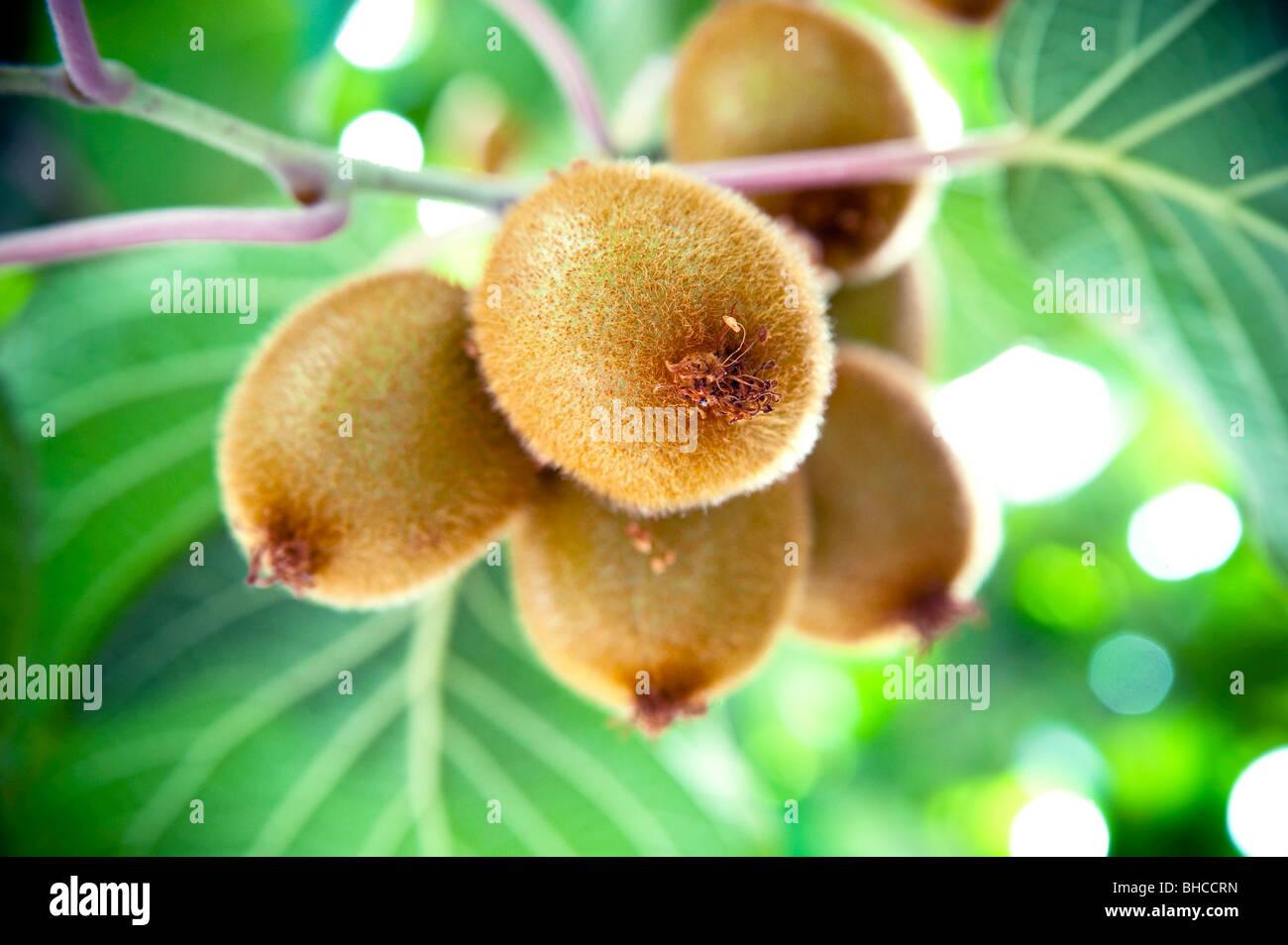 Close-up of Kiwi Plant - Stock Image