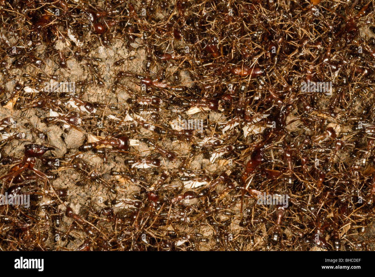Driver ants in a moving column, photographed in Tanzania, Africa. - Stock Image