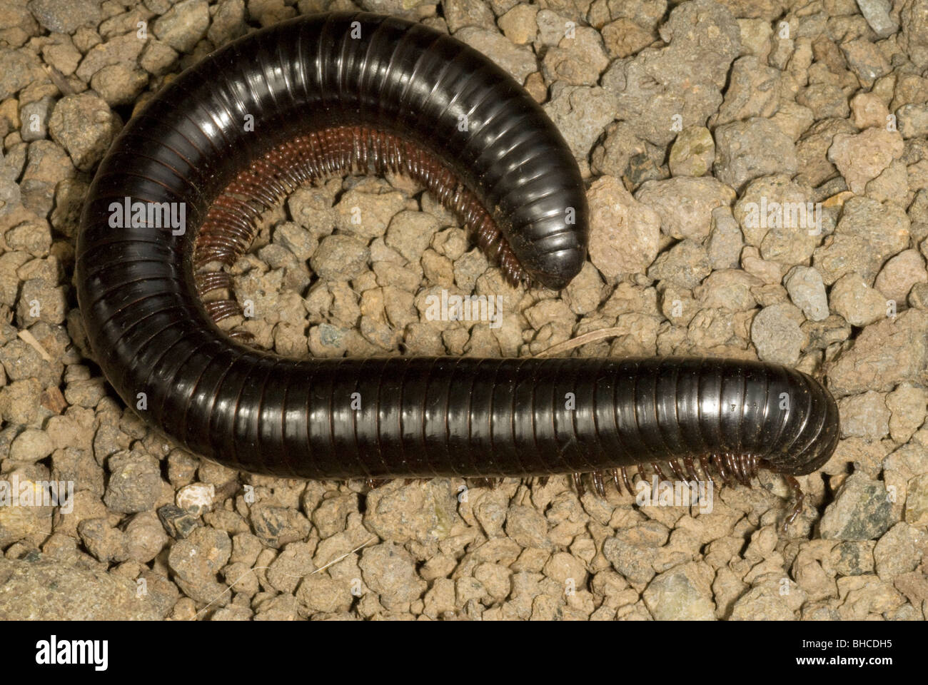 African giant millipede (Archispirostreptus gigas) - Stock Image